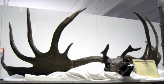 Megaloceros_giganteus_Irish_elk_skull_By James St. John -